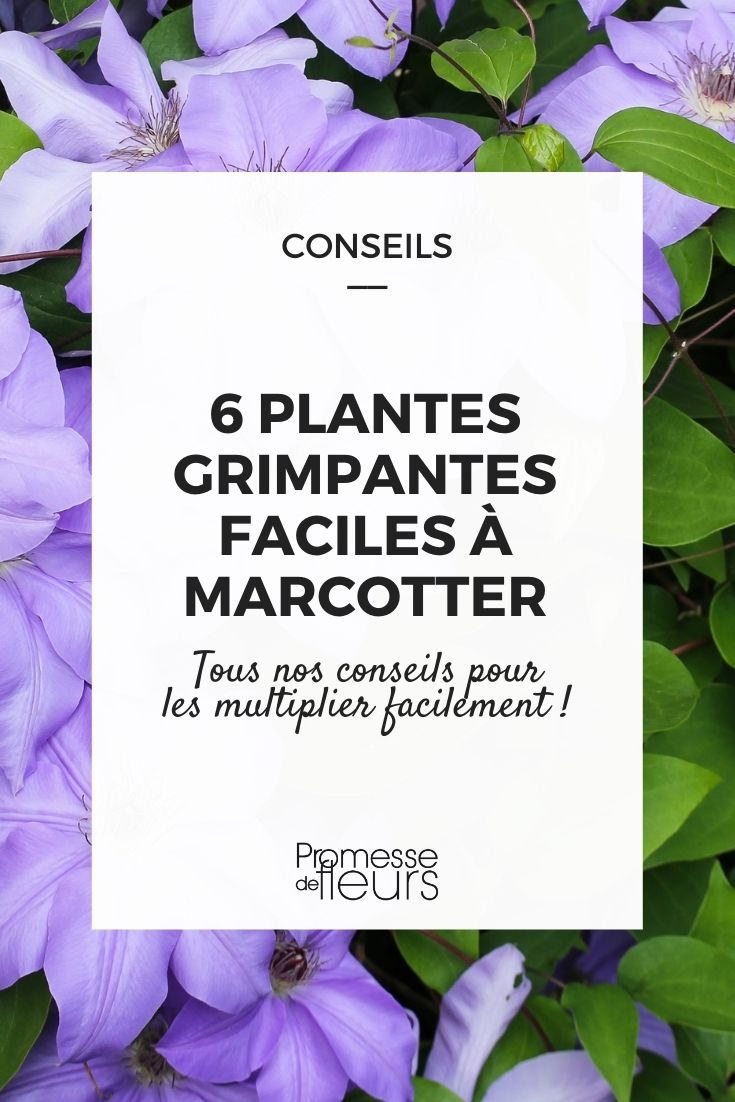 plantes grimpantes à marcotter