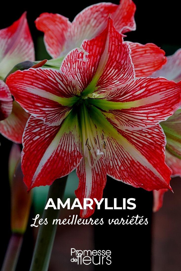 Amaryllis : les plus belles variétés