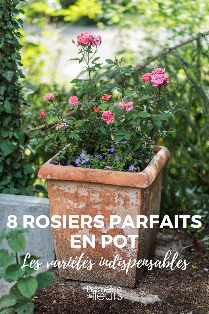 8 rosiers à cultiver en pot