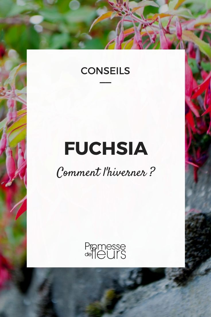 Comment hiverner un fuchsia ?
