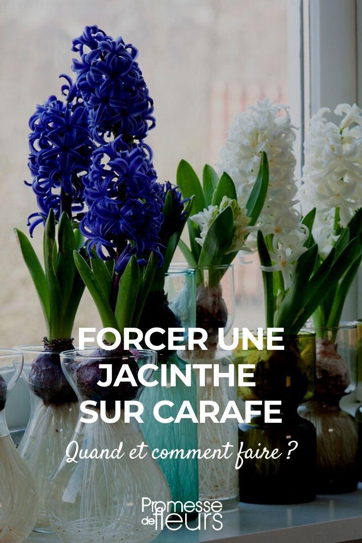 jacinthe sur carafe
