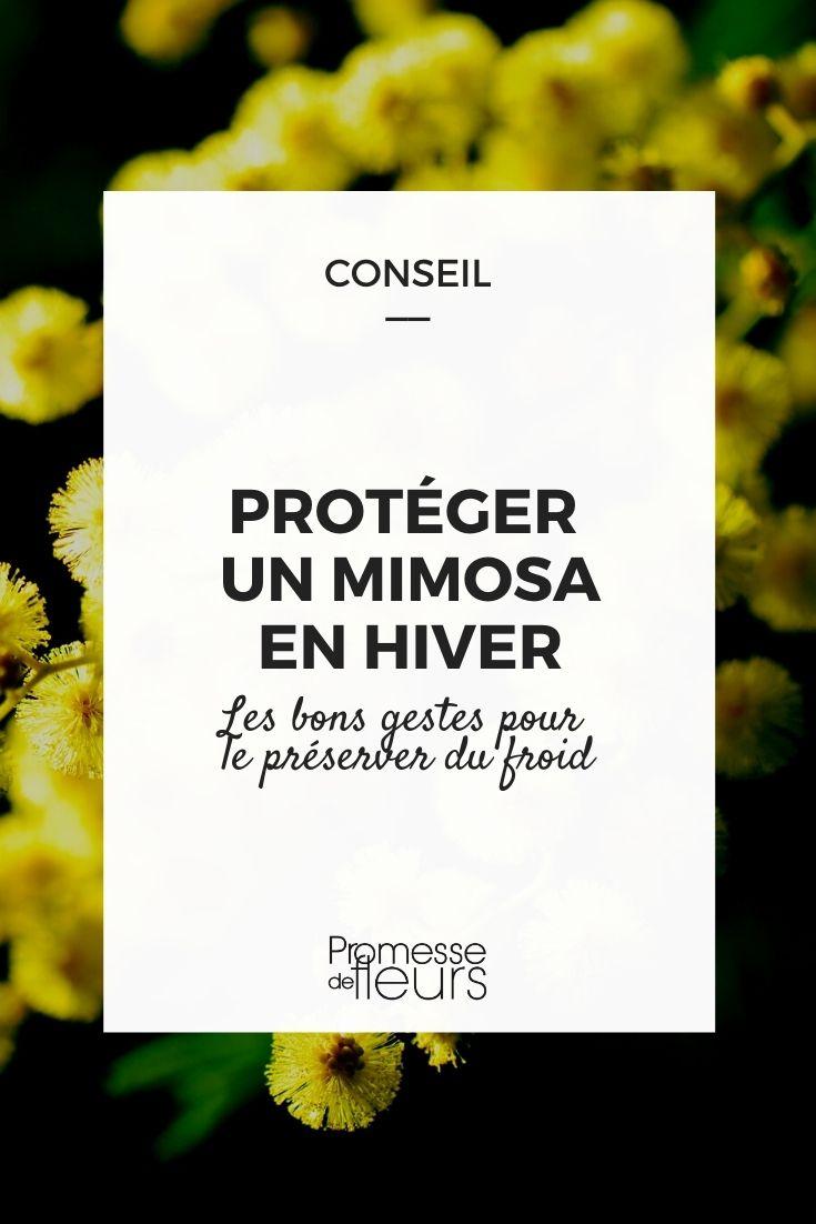 protéger un mimosa en hiver