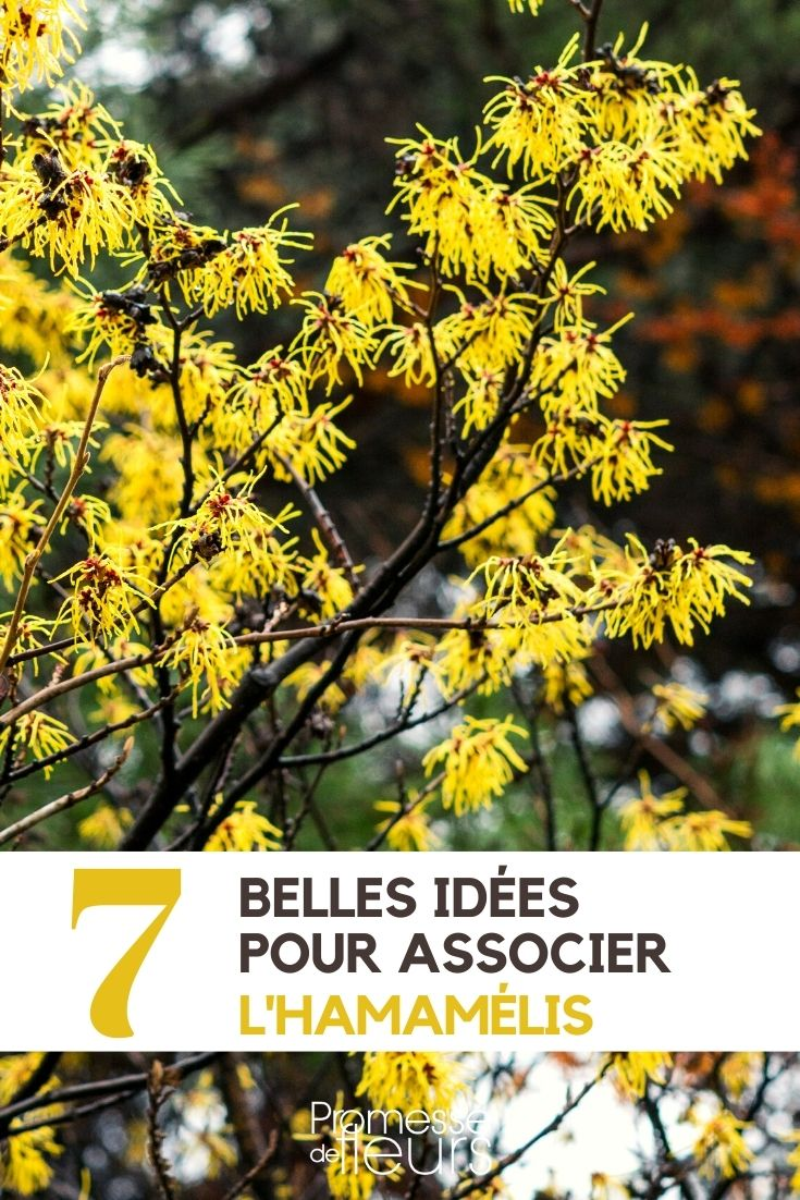 Hamamélis : 7 idées d'associations