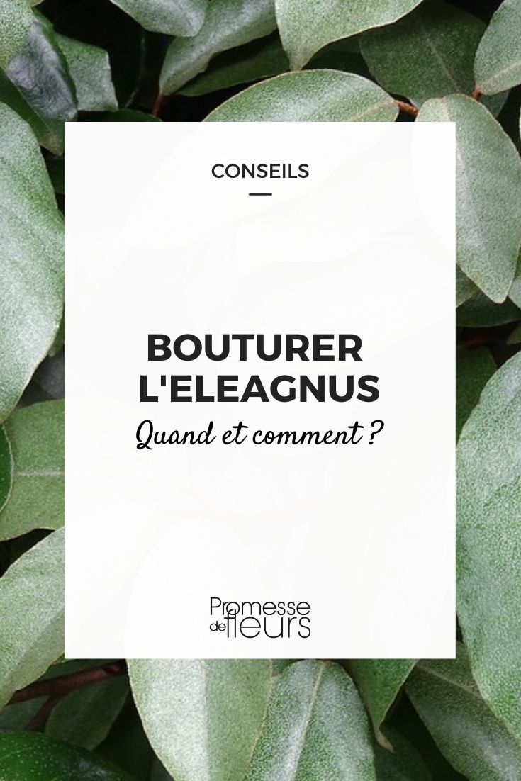 bouturer l'eleagnus