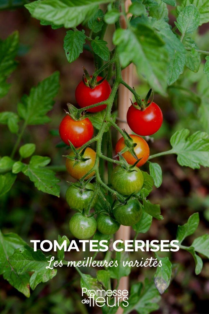 Les meilleures tomates cerises