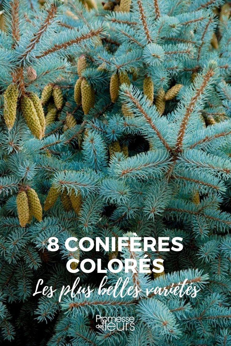 8 conifères colorés