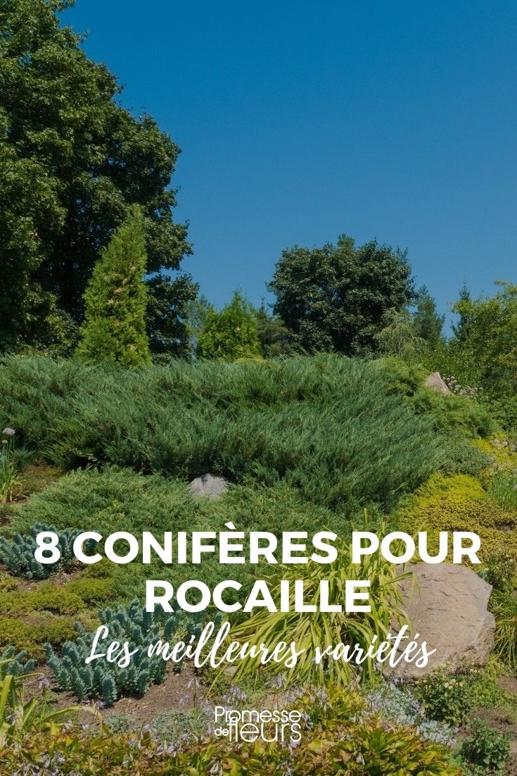 coniferes rocaille