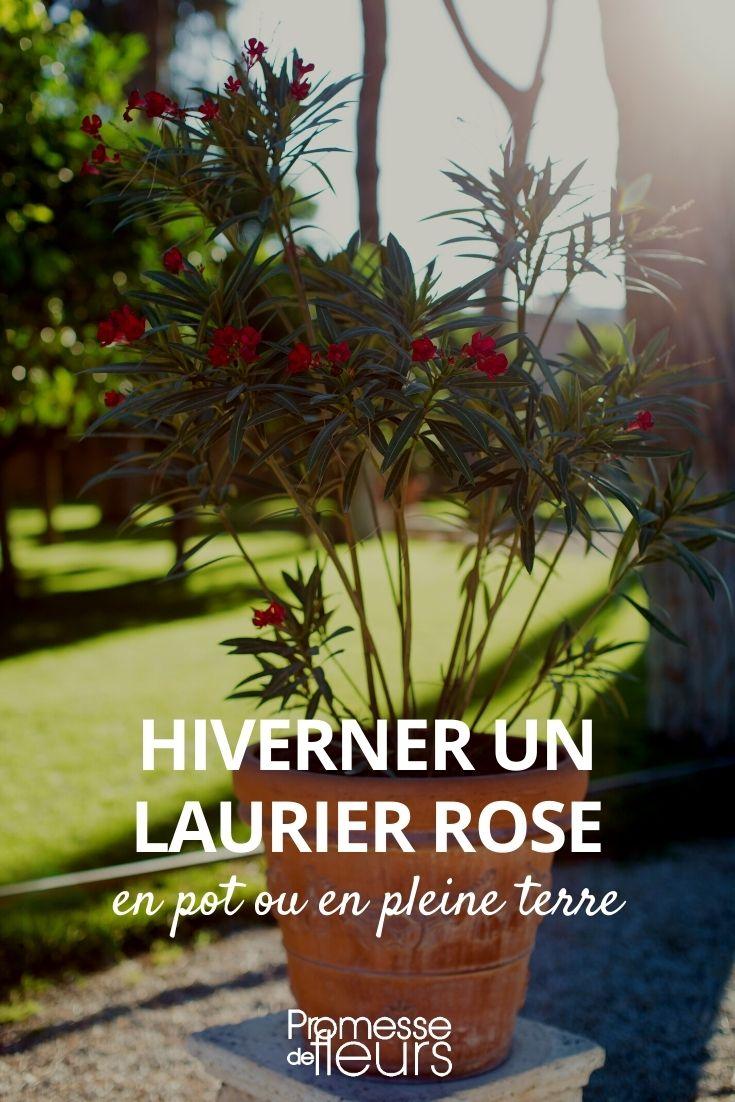 hiverner un laurier rose
