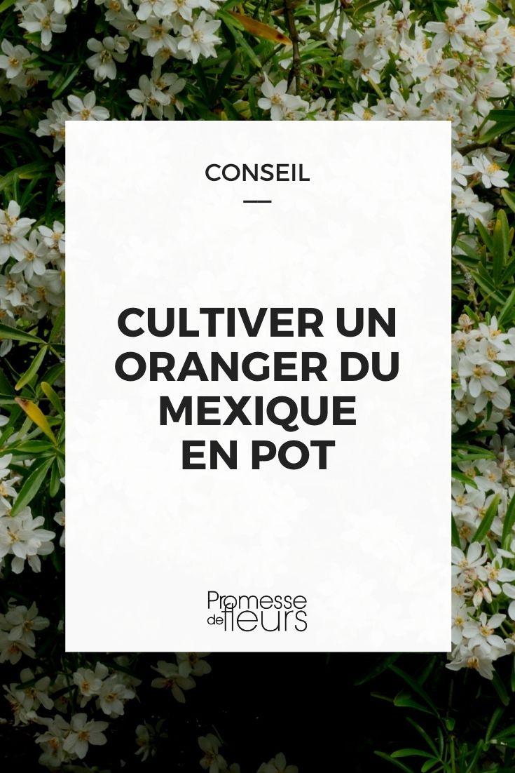 cultiver un choisya en pot