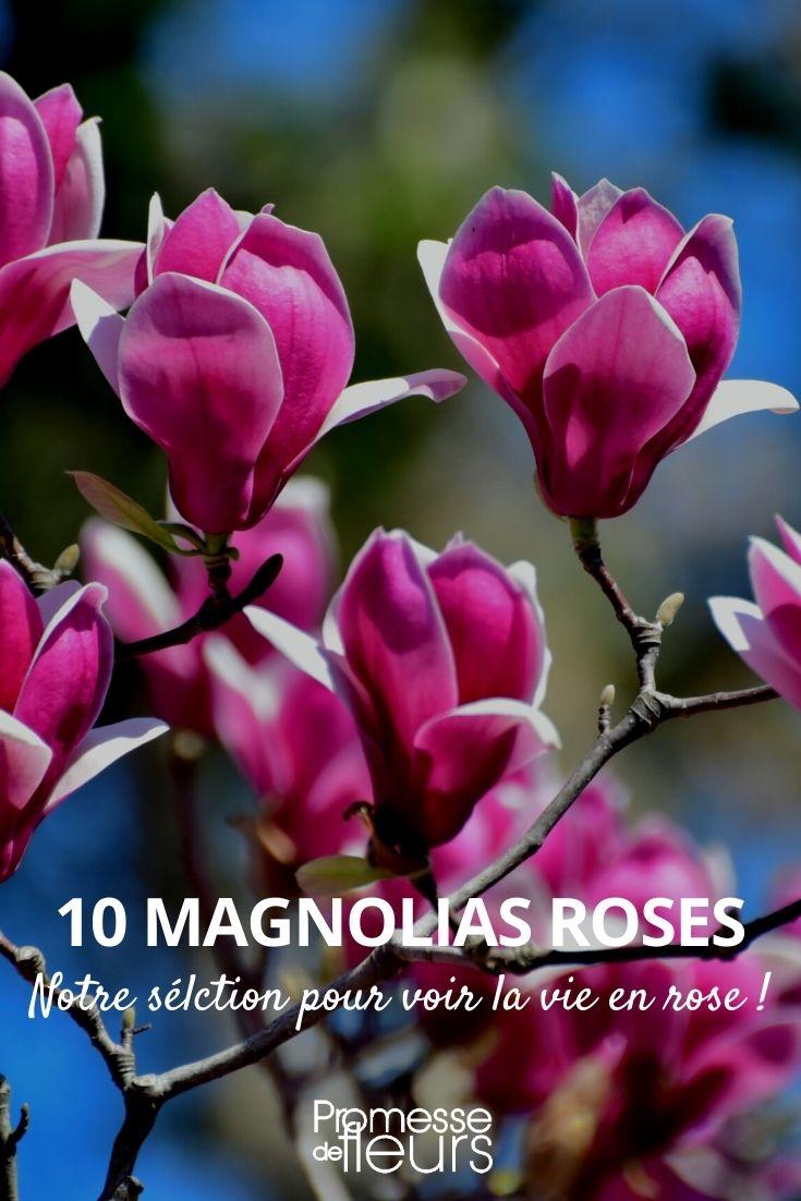 magnolia rose