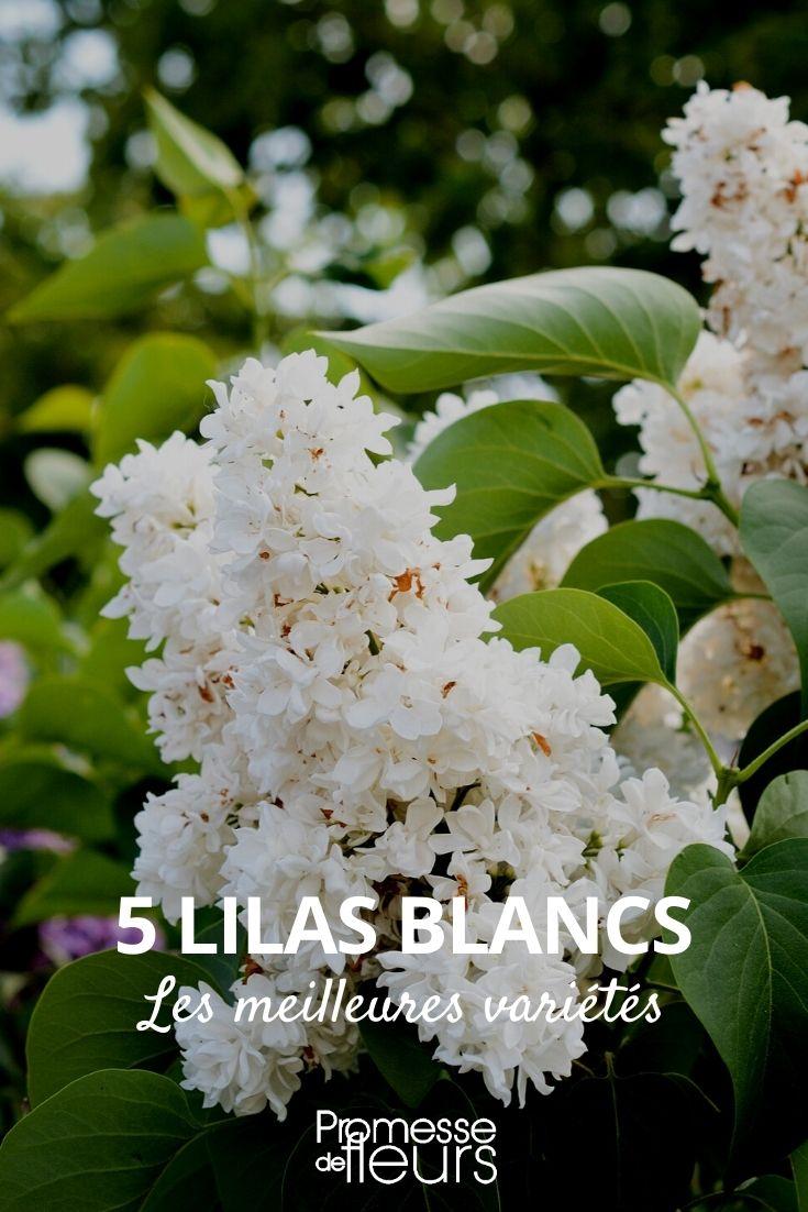 5 lilas blancs