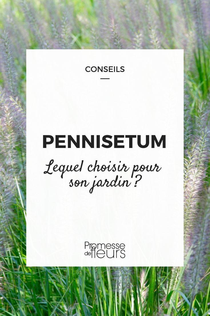 Pennisetum : guide d'achat