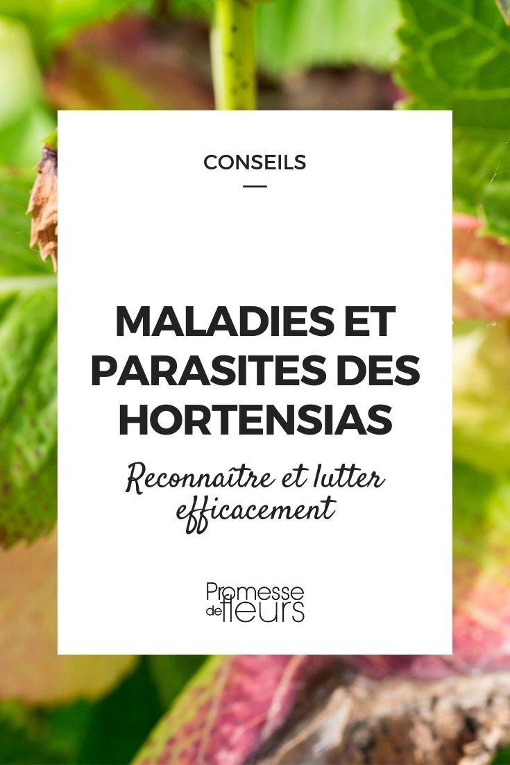 maladie et parasites des hortensias