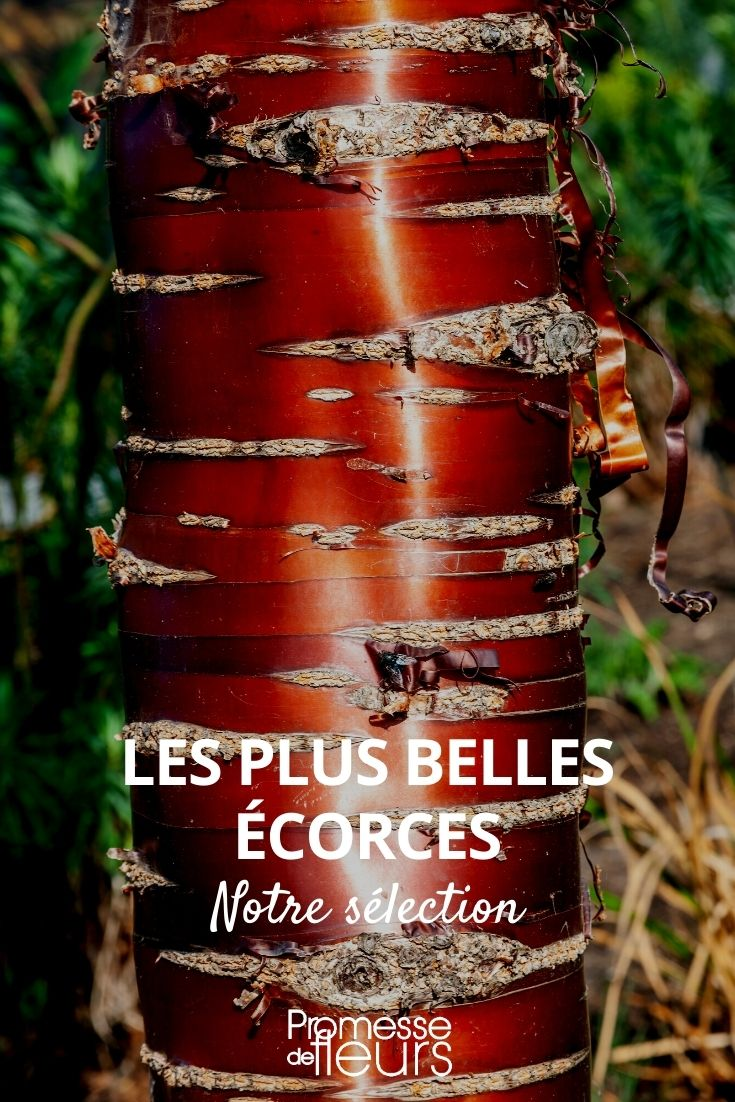 belles écorces, écorces remarquables, arbres à écorce