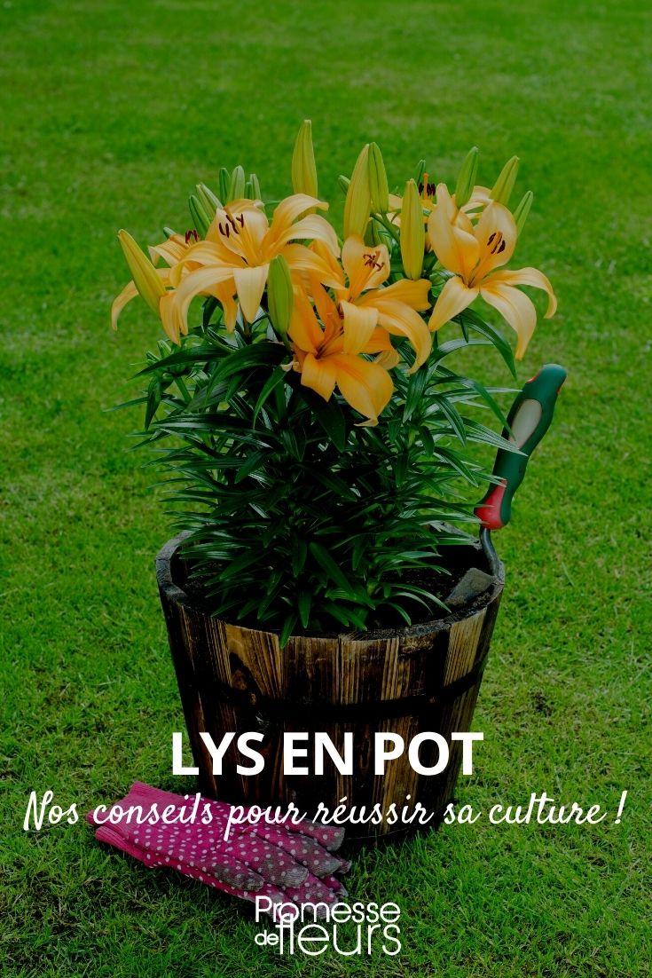 cultiver un lys en pot