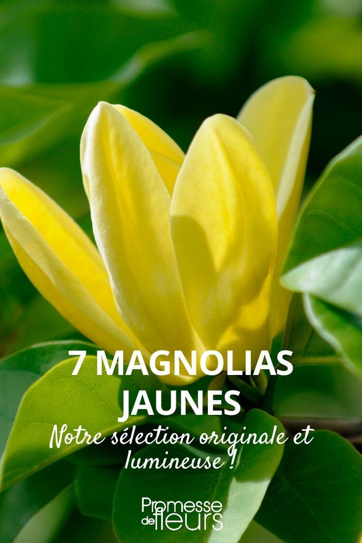 7 magnolias à fleurs jaunes