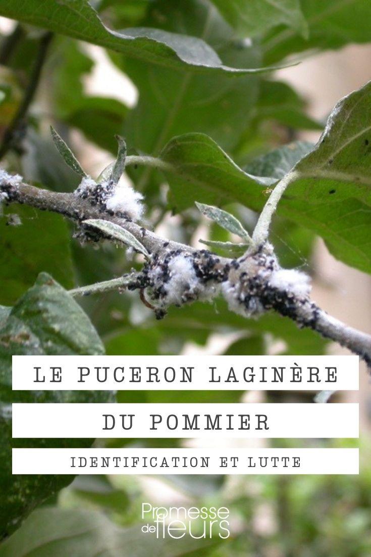 puceron laginère du pommier