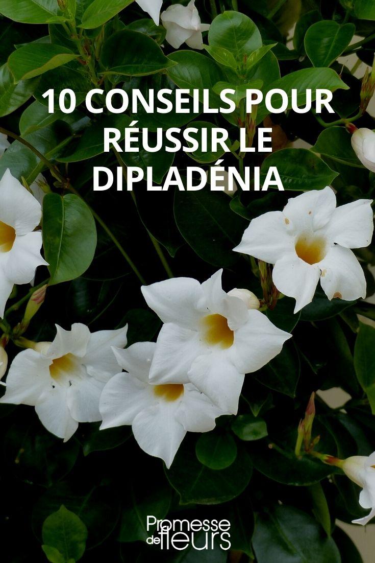 10 conseils pour la culture du dipladenia