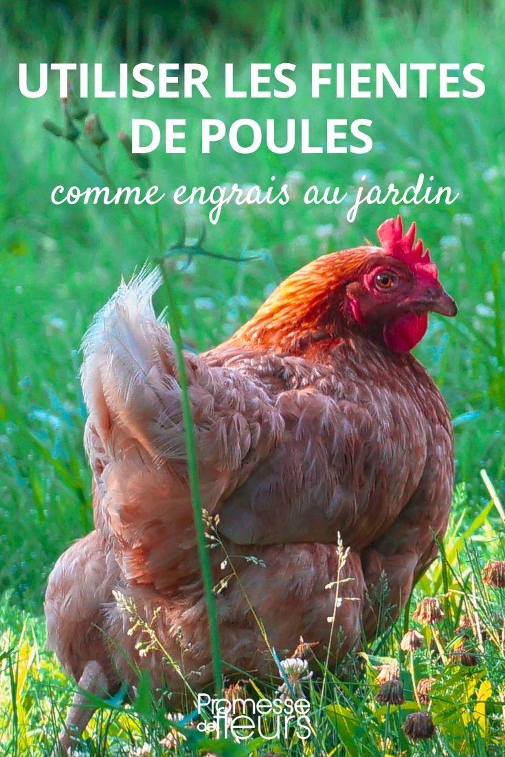 Les fientes de poules au jardin
