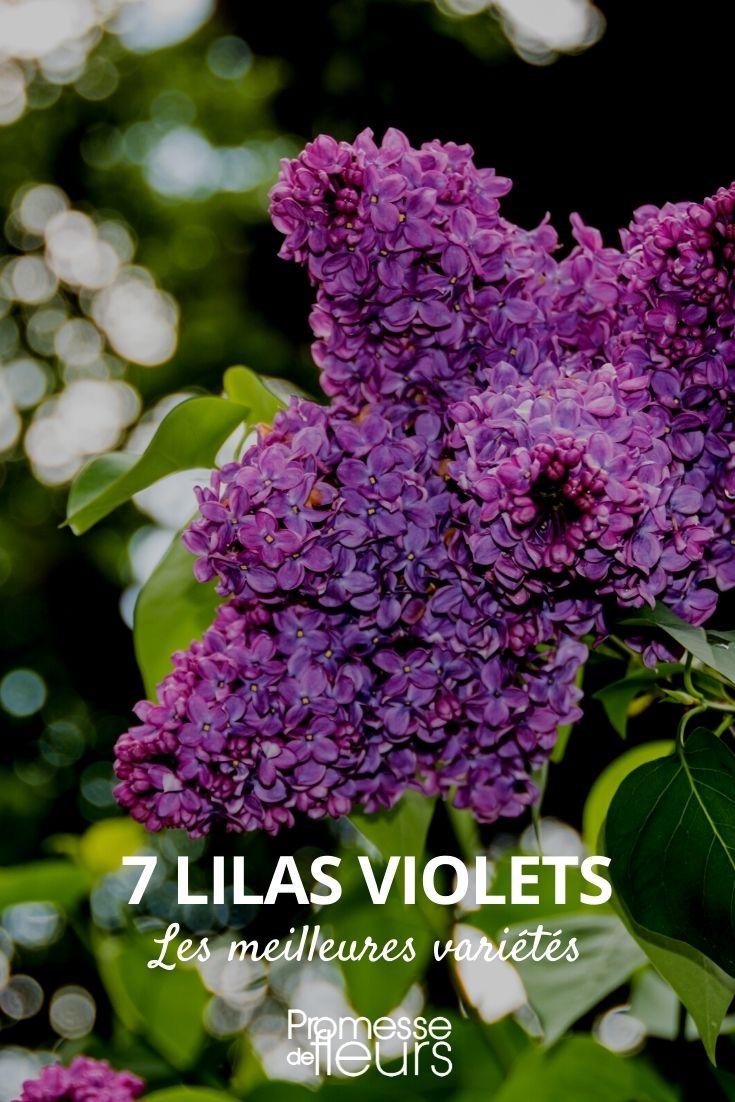 Sélection de lilas violet