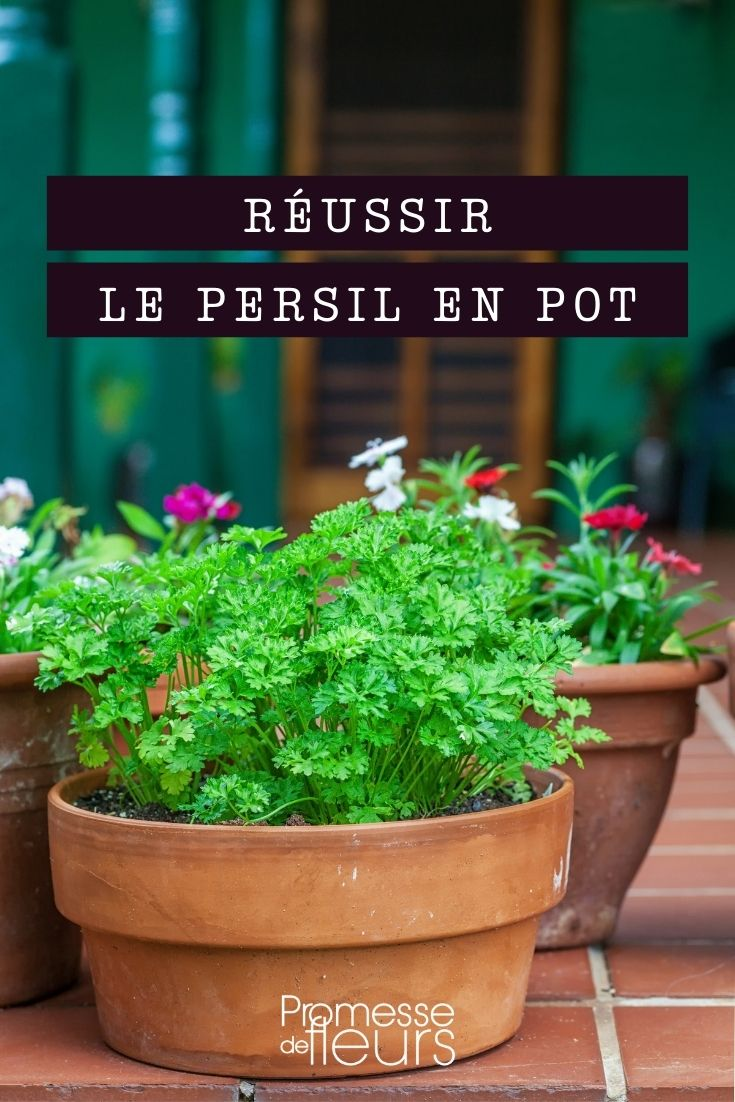 cultiver du persil en pot