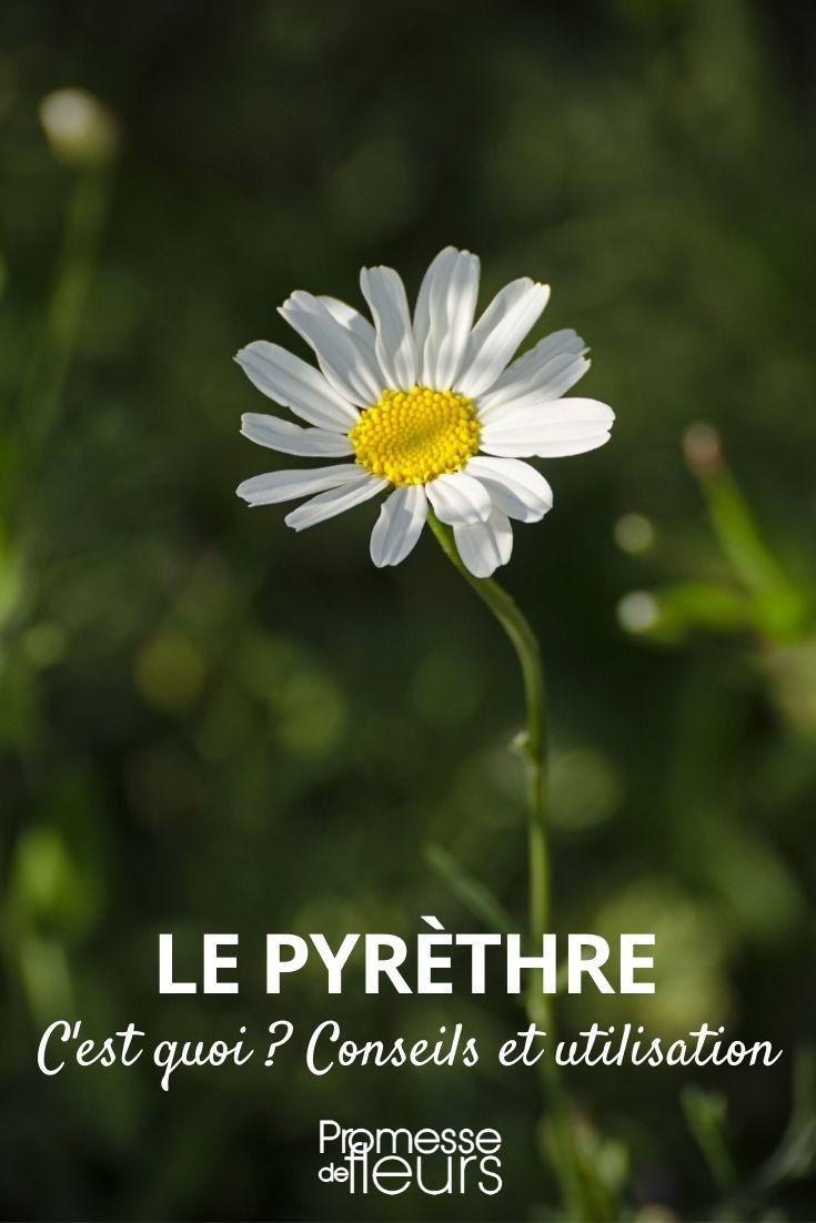 pyrethre