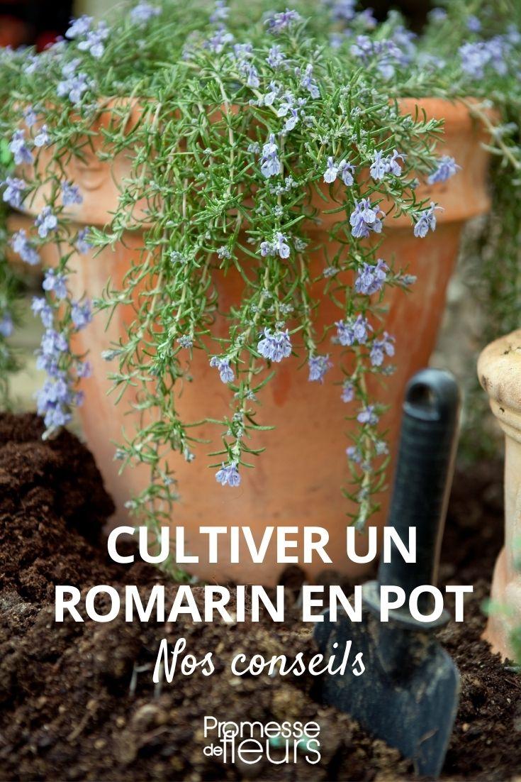 Cultiver un romarin en pot