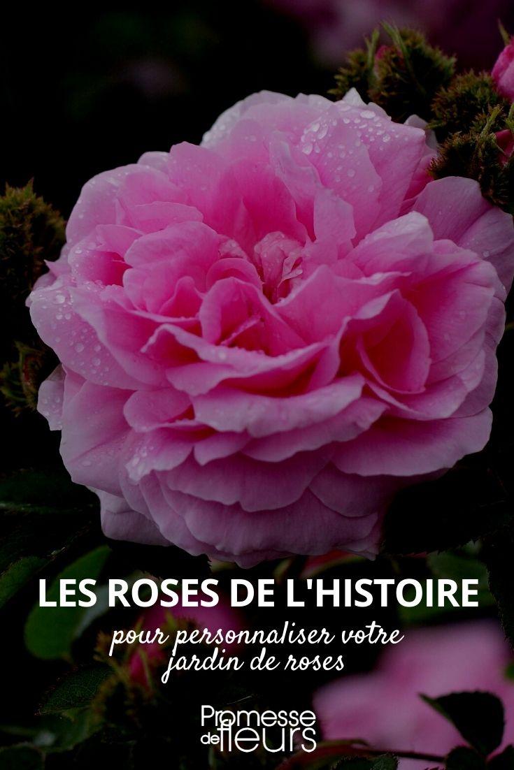 roses histoire