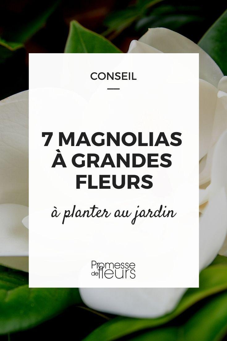 magnolias à grandes fleurs