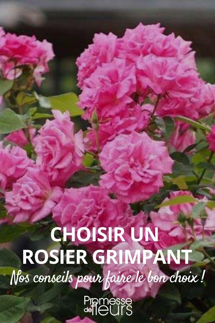 choisir un rosier grimpant