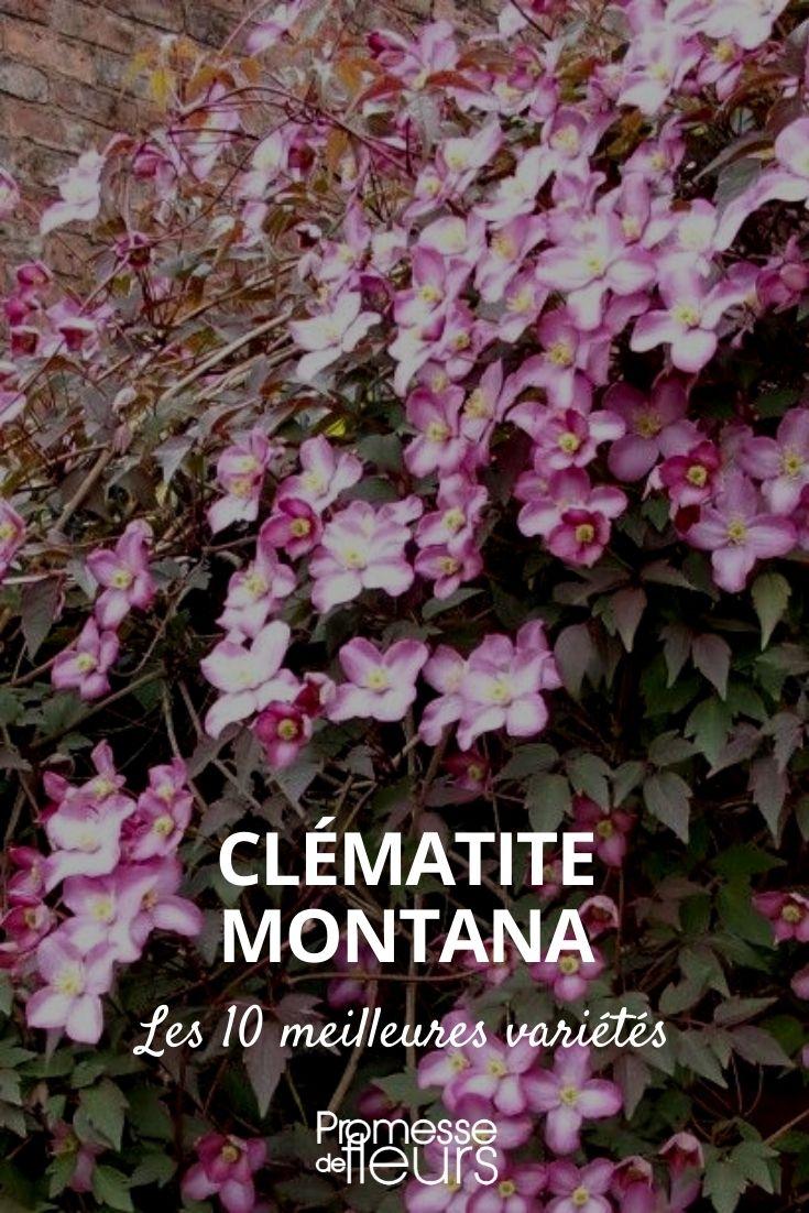 sélection de 10 clematis montana