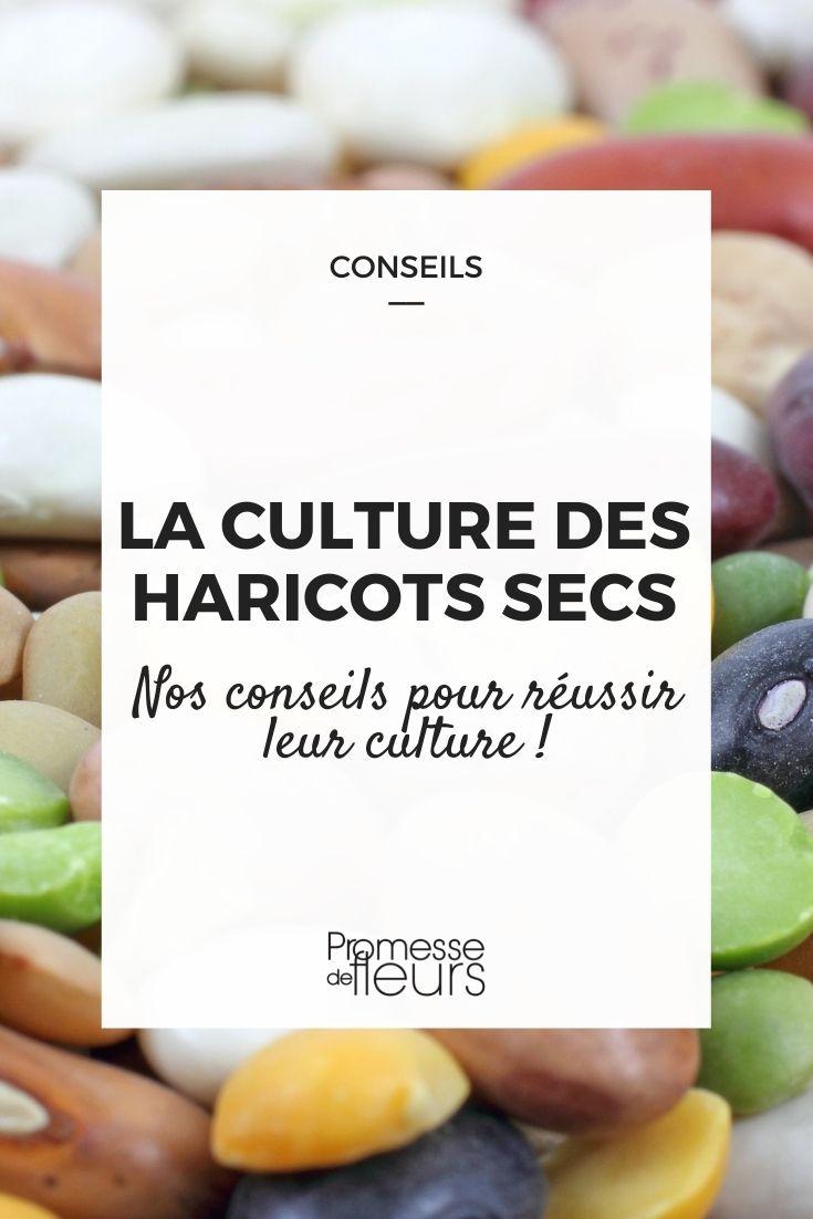 culture des haricots secs