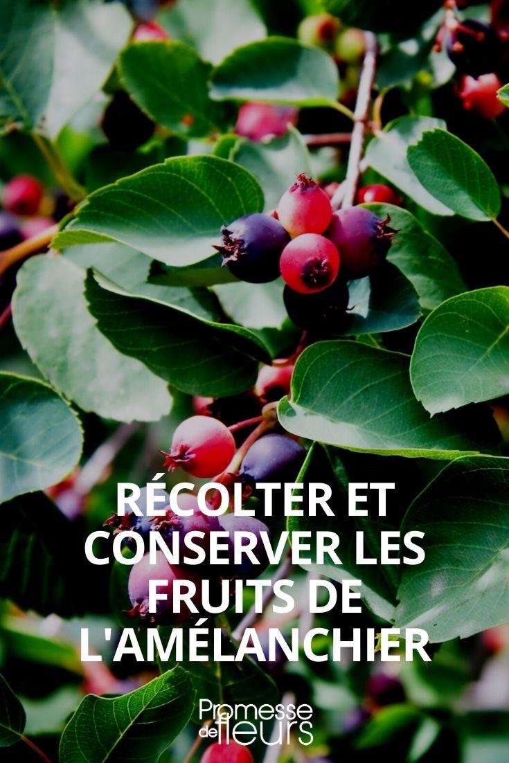 réecolter et conserver les fruits amelanchier