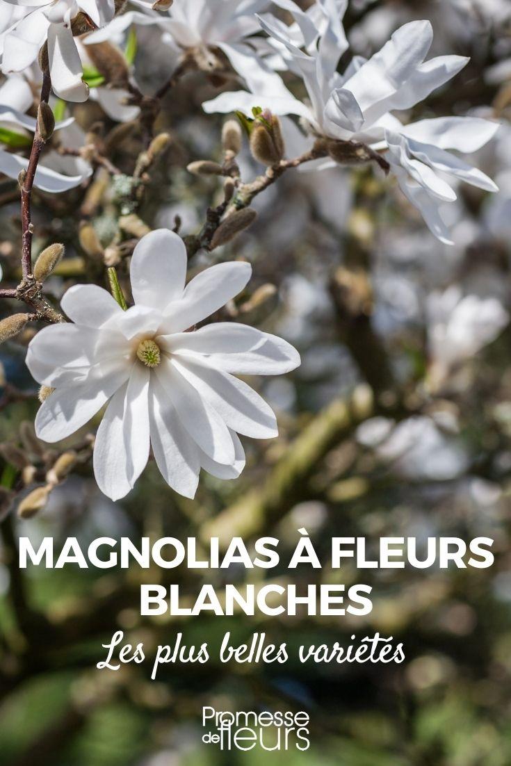 magnolia à fleurs blanches