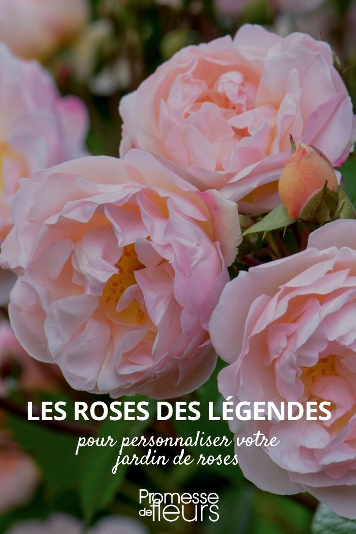 sélection roses des legendes
