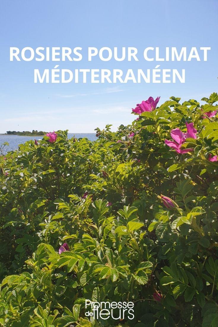 rosiers pour climat méditerranéen