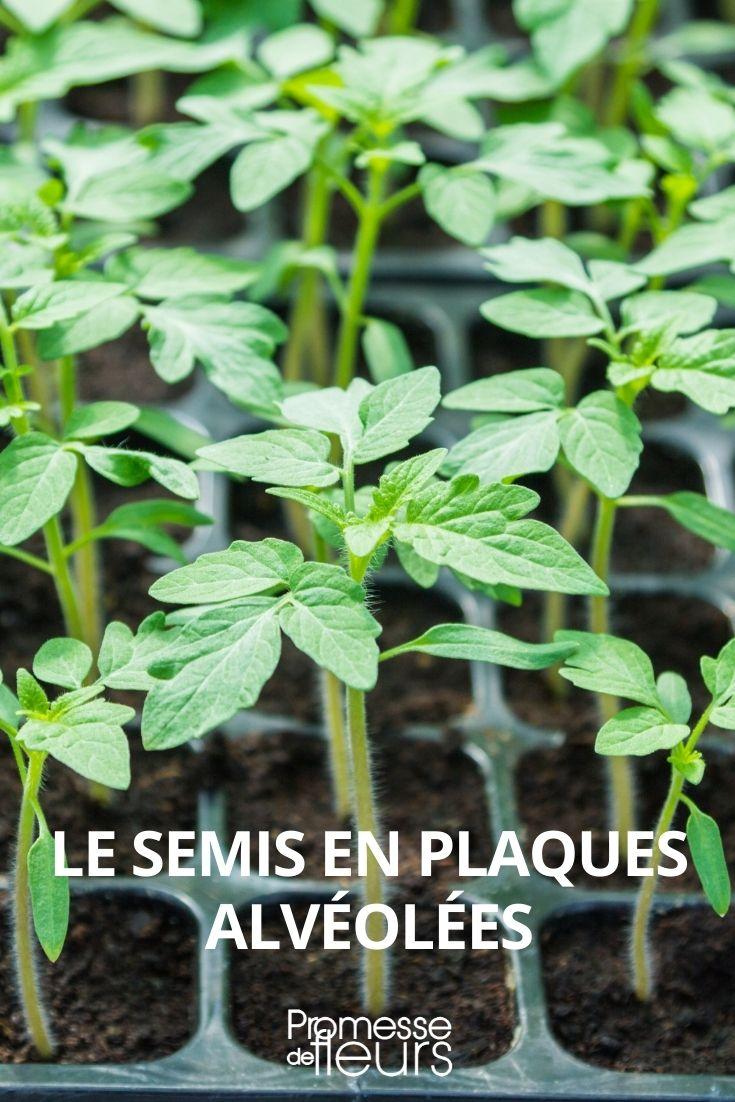 semis en plaque alvéolée