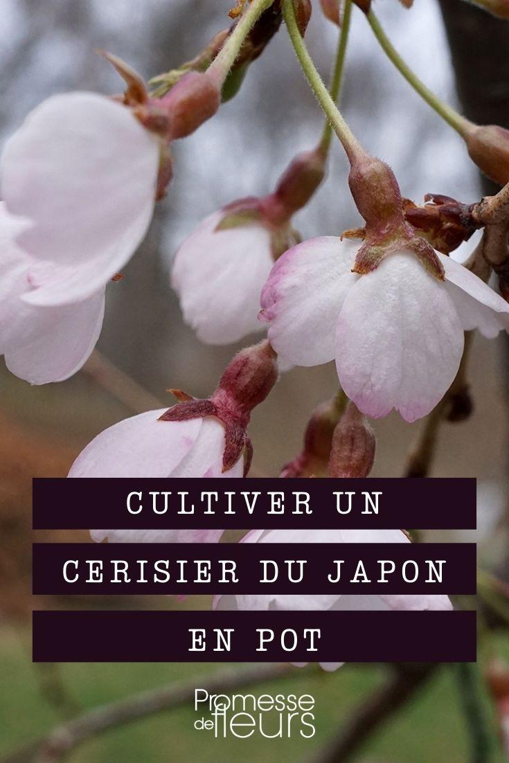 Cultiver un cerisier du japon en pot