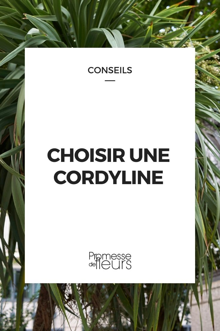 cordyline : guide d'achat