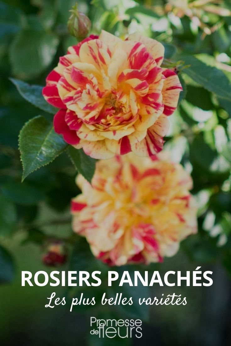 rosier panaché bicolore ou multicolore