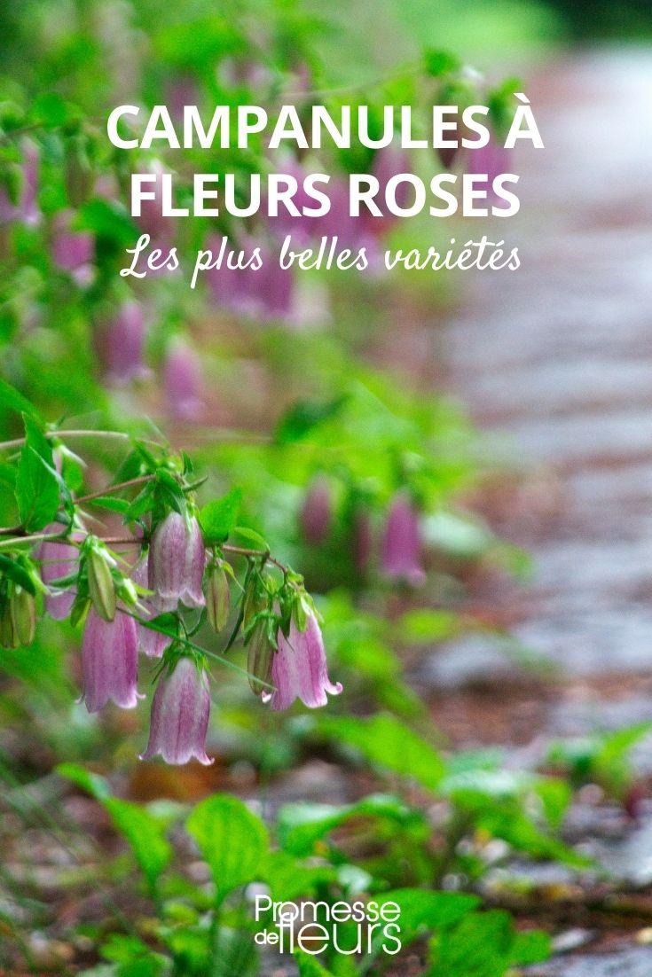 campanule fleurs roses