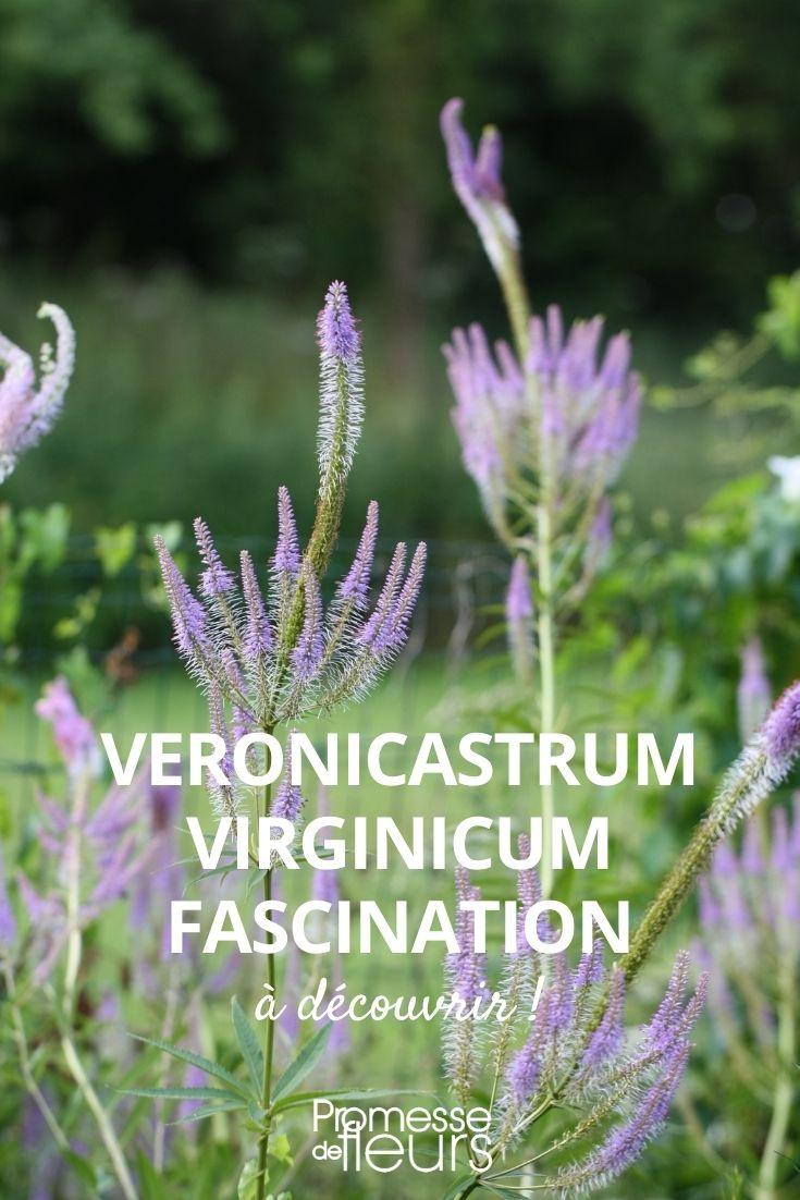 veronicastrum fascination