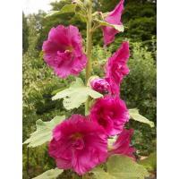 rose trémière de mon jardin