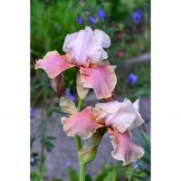 Iris germanica Cameo wine