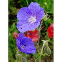 Une belle fleur bleu violacé