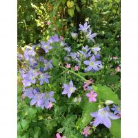 plantée cette année , longue floraison