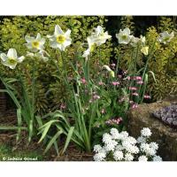 Narcissus poeticus Sinopel - Isabelle Giraud (78)