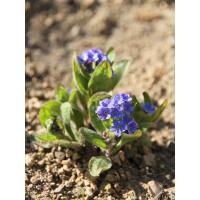 1ère floraison... Plus bleu moyen qu'azur.