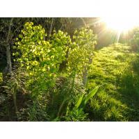 Euphorbia characias achat Chez PROMESSE DE FLEURS 2015