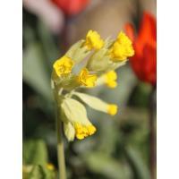 Tirez les fleurs jaunes et croquez leur base, c'est sucré et parfumé !